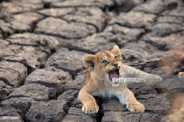 Serengeti National Park Lion cub Panthera leo Tanzania