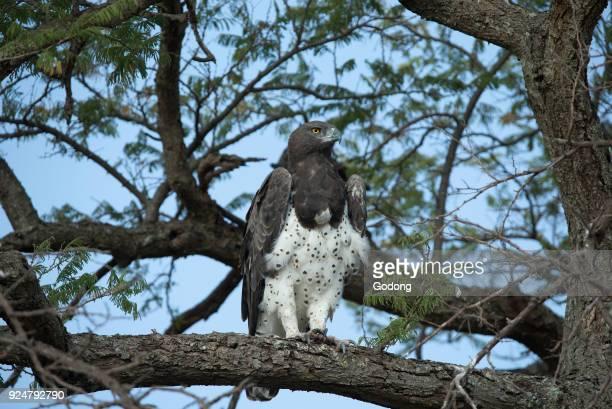 Serengeti National Park Martial eagle Polemaetus bellicosus perching on a tree Tanzania