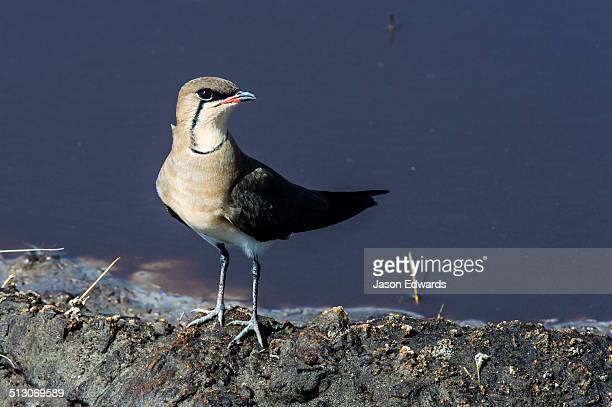 A Black-winged Pratincole standing on the shoreline of a waterhole.