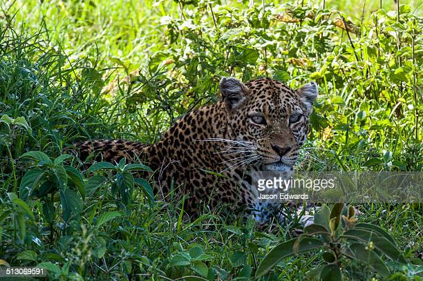 An African Leopard resting from the savannah heat in cool grass in the shade of a tree.