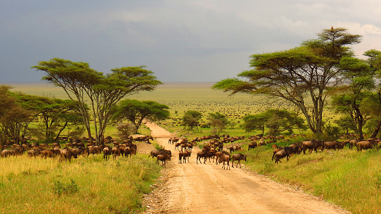 Serengeti plains Tanzania Africa wildebeest migration animals wildlife safari trees road grass 838552608