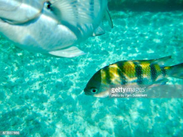 sergeant major damselfish off isla mujeres, mexico - isla mujeres stock photos and pictures