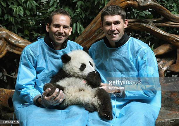 Sergio Garcia of Spain and Padraig Harrington of Ireland pose for photos with a baby Panda during a visit to the Chengdu Research Base of Giant Panda...