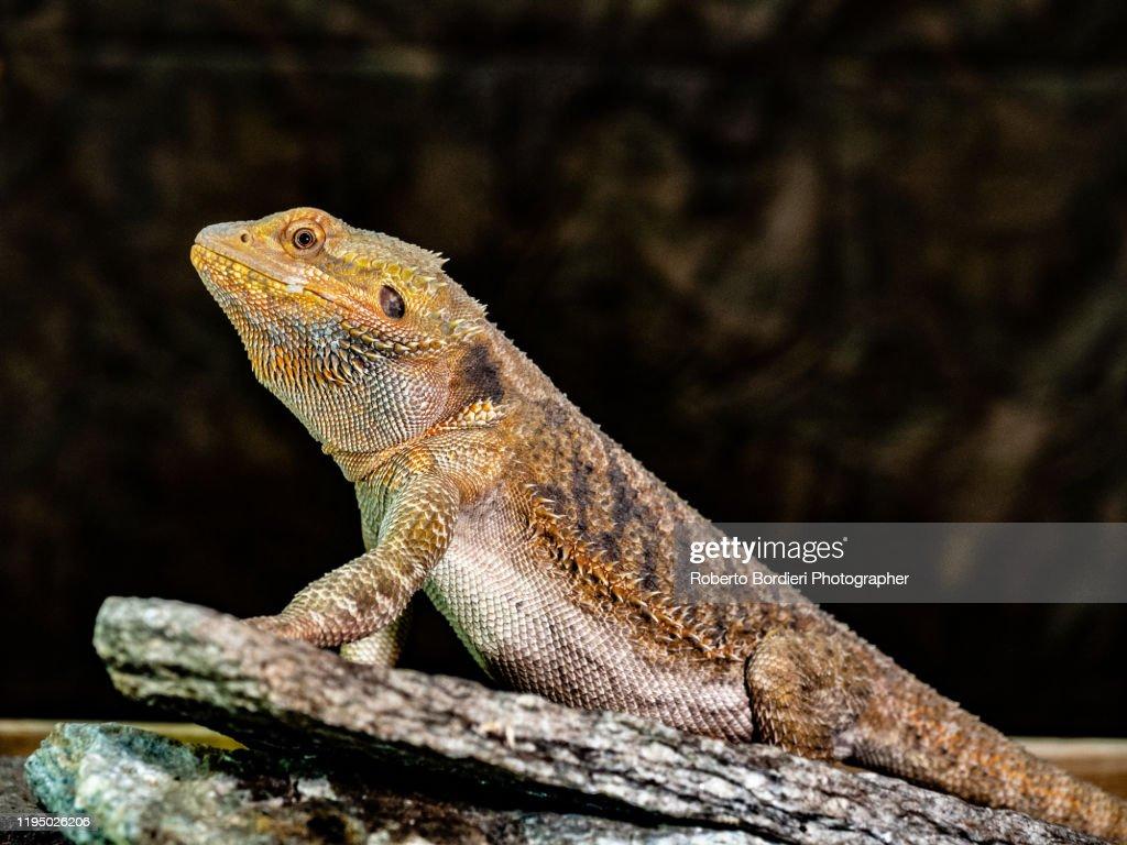 Serie di foto in ambiente controllato di diverse famiglie e tipi di Camaleoni, Iguana e rettili squamati : Foto stock