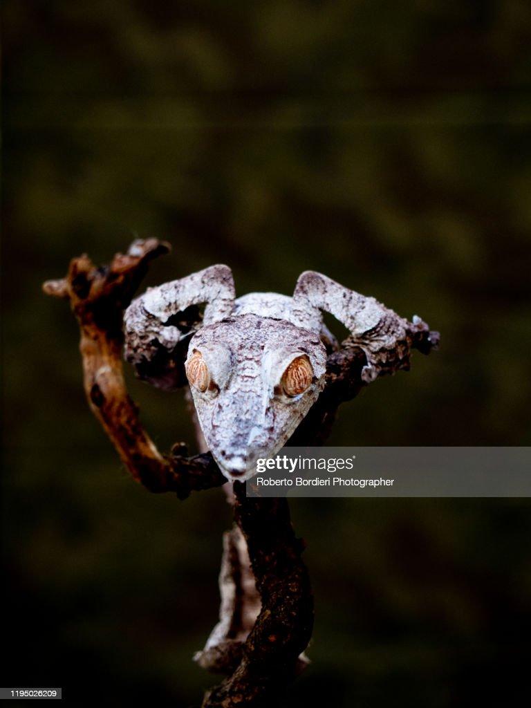 Serie di foto in ambiente controllato di diverse famiglie e tipi di Camaleoni, Iguana e rettili squamati : ストックフォト