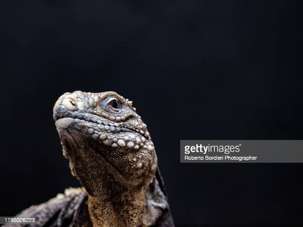 serie di foto in ambiente controllato di diverse famiglie e tipi di camaleoni, iguana e rettili squamati - roberto bordieri stock-fotos und bilder