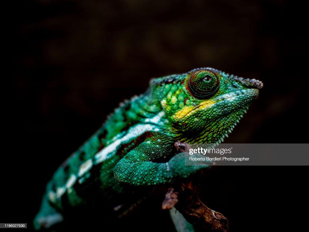 Serie di foto in ambiente controllato di diverse famiglie e tipi di Camaleoni, Iguana e rettili squamati : Stock Photo