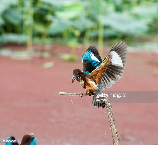 Series pictures show a process of two kingfishers fighting in Jiujiang Jiangxi province China on 29th June 2009 Picture one