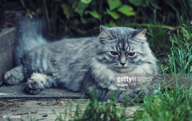 serious and angry little gray cat on laing reen grass - purebred cat stock pictures, royalty-free photos & images