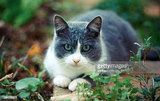 a serious cat - annfrau stock photos and pictures