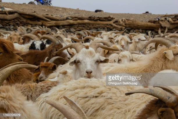 serious goat - cashmere stock pictures, royalty-free photos & images