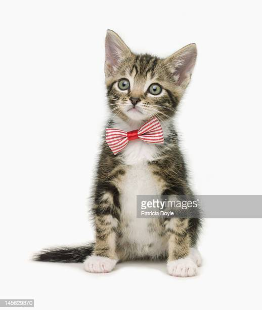 Serious kitten wearing a bow tie