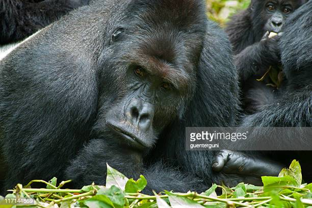Serious looking Silverback of Eastern Lowland Gorillas, wildlife shot