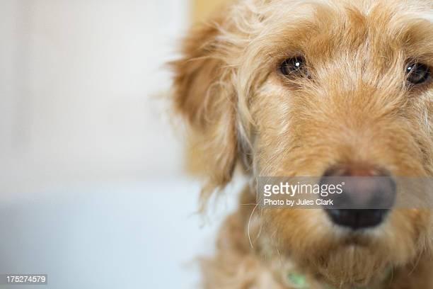 serious pooch - goldendoodle stock-fotos und bilder