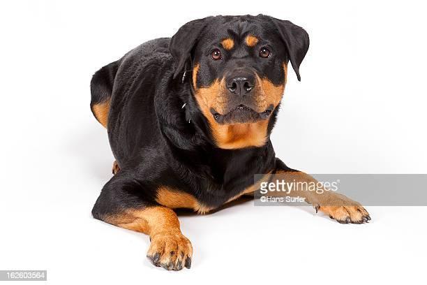 Serious Rottweiler!