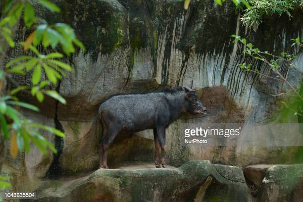 Serow inside a cage at Dusit Zoo in Bangkok Thailand 30 September 2018 Dusit Zoo is Thailand's first public zoo opened 80 years ago on 18 March 1938...