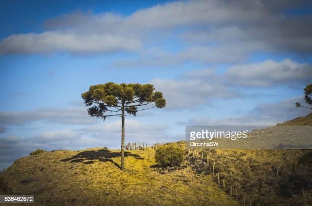 serra catarinense, santa catarina, brazil. - barrväxter bildbanksfoton och bilder