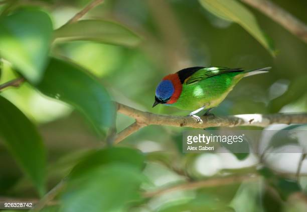 A red-necked tanager, Tangara cyanocephala, perches a branch of a tree.