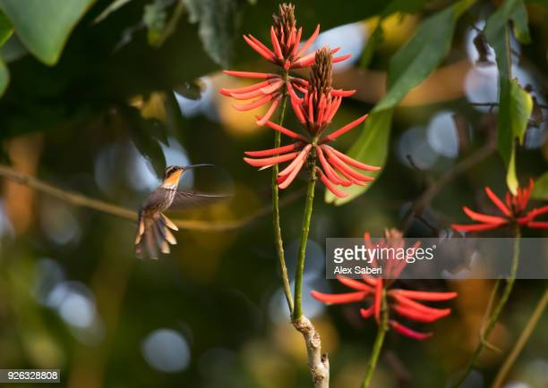 A saw-billed hermit, Ramphodon naevius, feeds from a vibrant coral tree flower.