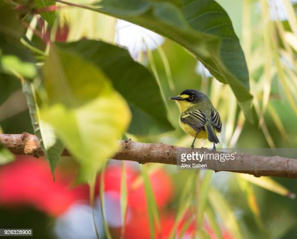 A yellow-lored tody flycatcher, Todirostrum poliocephalu, perches on a branch in the Atlantic rainforest.