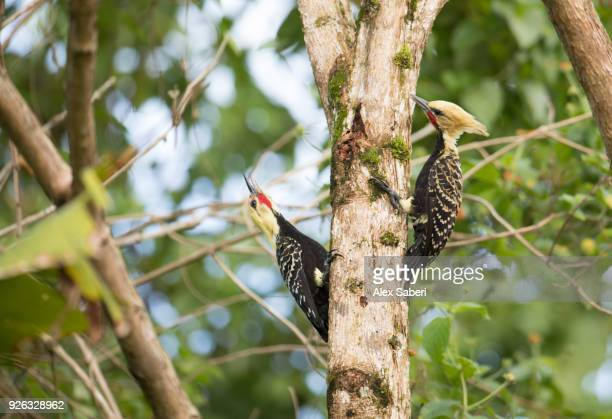 Two blond-crested woodpeckers, Celeus flavescens, perch on a branch in the Atlantic Rainforest in Serra do Mar National Park.