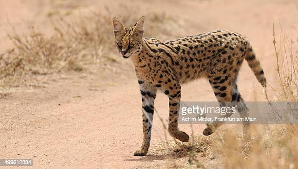 Serval cat crossing sand road