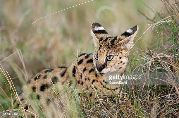 Serval Cat Hiding in the Grass