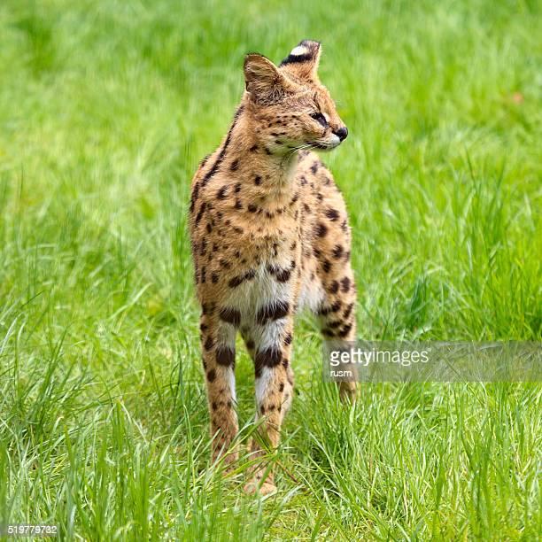 Serval cat in green grass