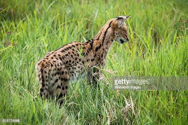 Serval cat in Ngorongoro Crater, Tanzania