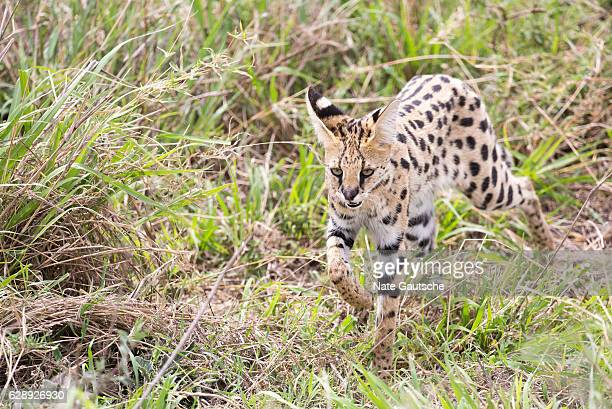 Serval cat in the wild in Serengeti National Park, Tanzania