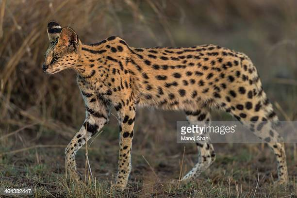 Serval cat looking for prey
