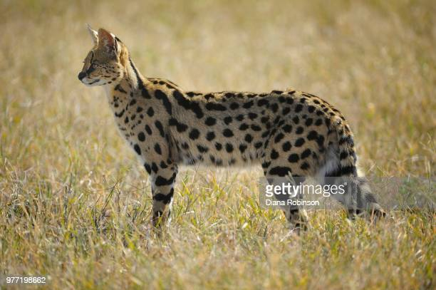 Serval Cat (Leptailurus serval) on grass, Ngorongoro Crater, Tanzania