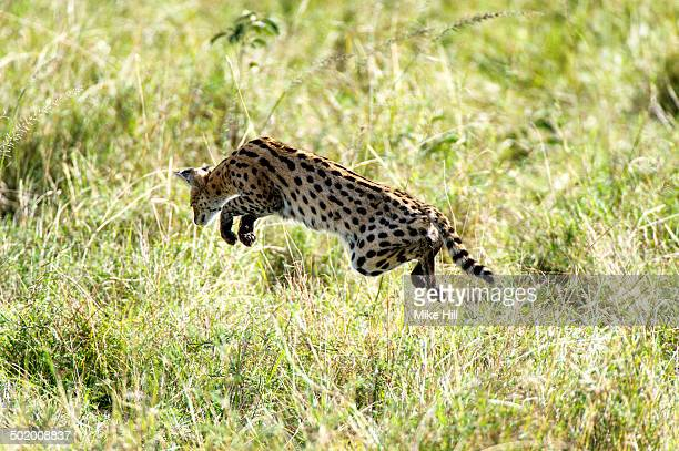 Serval hunting in the grass