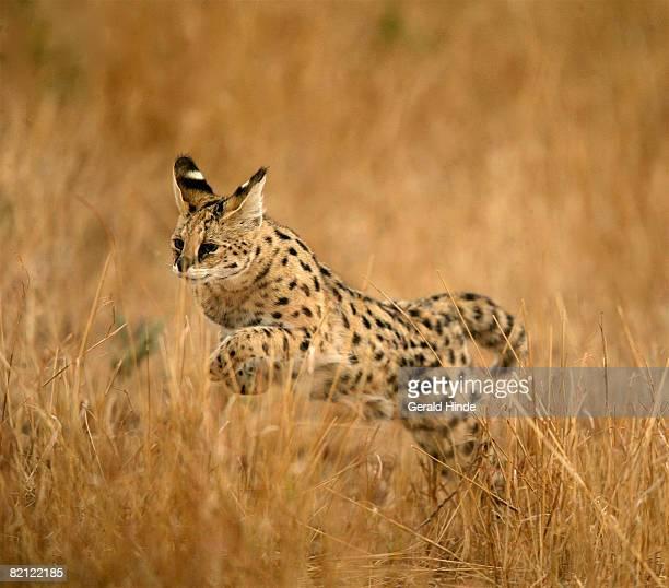 Serval (Leptailurus serval) in long grass, Masai Mara, Kenya