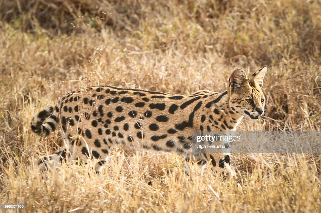 Serval In The Savannah Stock Photo - Getty Images