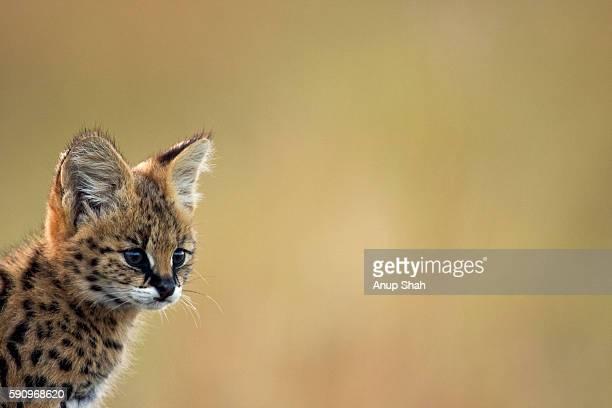 Serval kitten portrait