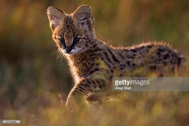 Serval kitten walking