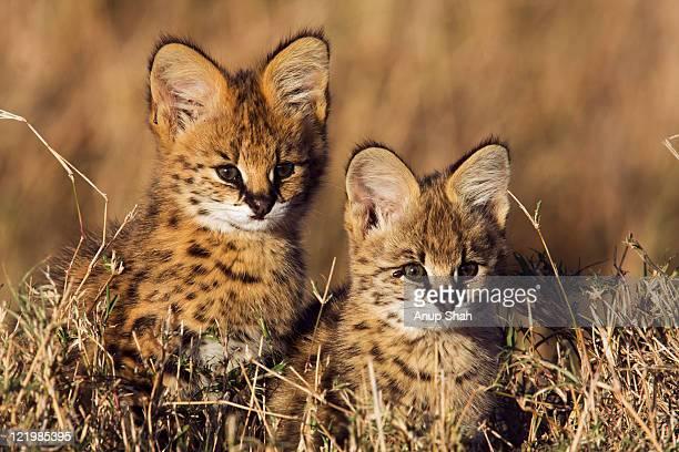 Serval kittens portrait