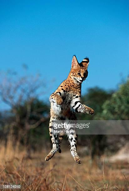 Serval (Felis serval) leaping, Africa