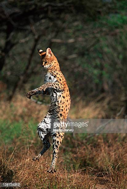 Serval (Leptailurus serval) leaping in grassland, Africa