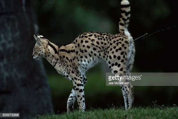 Serval Marking Territory With Urine Spray