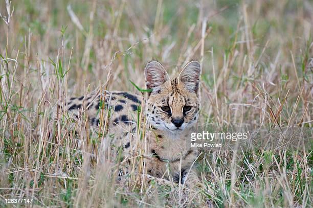serval (leptailurus serval) masai mara, kenya - asiatische wildkatze stock-fotos und bilder