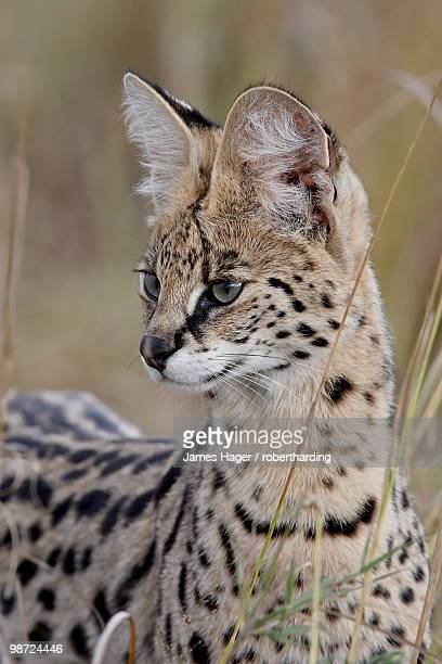 Serval (Felis serval), Masai Mara National Reserve, Kenya, East Africa, Africa