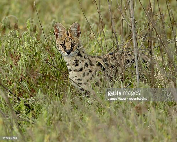 Serval (Felis serval), Ngorongoro Crater, Tanzania, East Africa, Africa