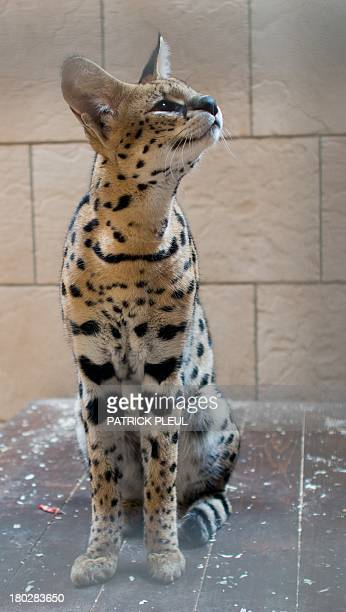 A serval sits in its enclosure near Bernau Germany on September 10 2013 The district of Barnim continues its search for the owner of the African wild...
