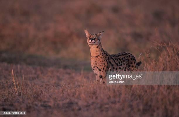 Serval (Felis serval) standing on savannah, Kenya