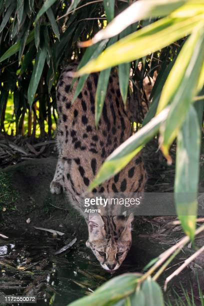 Serval wild cat / feline native to Africa drinking water from pond in bamboo forest