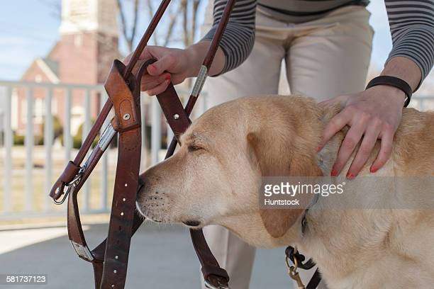 Service dog having his harness put on by his owner