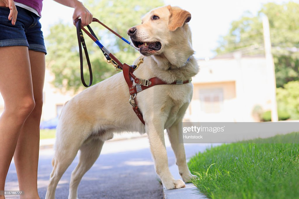 Service dog helping a woman with visual impairment at a curb : Stock Photo