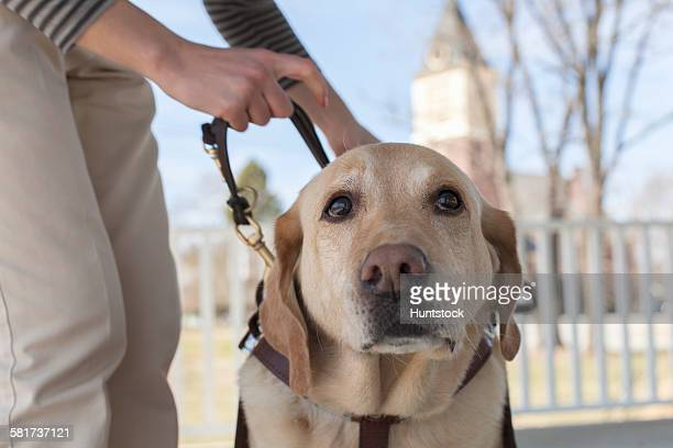 Service dog in his harness with owner